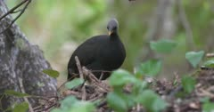 Micronesian Megapode digs her nest in sand mound