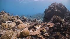 Underwater POV over healthy shallow coral reef in Republic of Palau
