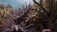 Close up wide angle shot of Crown of Thorns Starfish crawling over live corals
