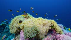 Bright and colourful anemone and corals on remote Pacific reef