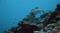 Two Brown marbled Groupers fight over territory