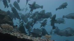 Bumphead Parrotfish aggregate above a reef before dawn in Palau