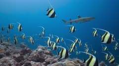 Huge spawning aggregation of Moorish Idols stream over a reef  chased by predators
