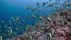 Moorish Idols spawning agg