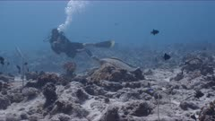 SCUBA Diver approaches resting Green Turtle