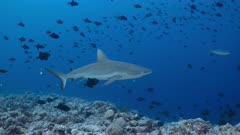 Adult female Grey Reef Shark swims towards camera through school of small black triggerfish