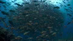 Low angle view of Spawning aggregation of Twin spot Snapper in deep water