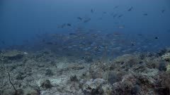 Wide shot of Twin spot Snapper Spawning aggregation swimming in deep water above coral reef (part of sequence)