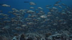 Huge aggregation of Twin spot Snapper swim over a deep reef