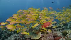 large school of Yellow Snappers swim above reef with divers in background