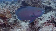 A Red Parrotfish grazes from rocks and corals accompanied by small crescent wrasse.