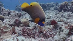 A Yellow mask Angelfish grazes from rocks, feeding on sponges and tunicates.