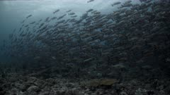 Huge spawning aggregation of Twin Spot Snapper swim over reef at dawn.