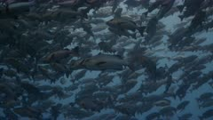 Telephoto low angle shot of individual fish among huge spawning aggregation of Twin spot snapper