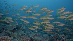 Large school of silver and yellow fish swim above coral reef