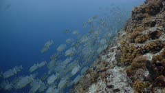 Wide shot of Huge aggregation of Sailfin Snapper swimming towards camera along reef