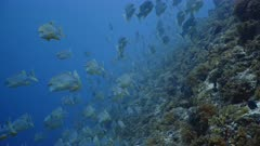 Telephoto shot of Huge aggregation of Sailfin Snapper swimming towards camera along reef