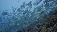 Low angle shot looking up at large aggregation of Sailfin Snapper swimming along reef