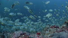 Sailfin Snapper spawning aggregation on deep reef with multiple spawning rushes in background