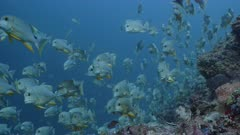 Medium shot of Sailfin Snapper spawning aggregation on deep reef with multiple spawning rushes in background