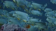 Telephoto shot of Sailfin Snappers at spawning aggregation on deep reef with fish swimming in strong current