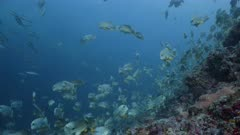 Wide shot of Sailfin Snappers at spawning aggregation on deep reef with Oceanic Blacktip shark swimming through frame