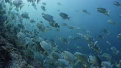 Low Wide shot of Sailfin Snappers at spawning aggregation on deep reef with multiple spawning rushes in background