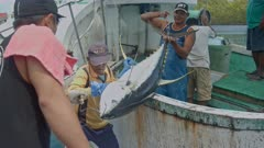 Large Yellowfin Tuna is unloaded from Long-line fishing vessel in Palau