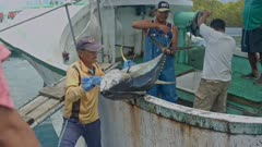 Workers unloading a Yellowfin Tuna from a fishing vessel in Palau