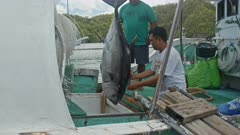 Workers unload a Bigeye Tuna from a long-line fishing vessel in Palau