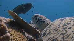Close up of Green Turtle resting on reef with fish swimming past in background