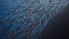 Thousands of Twin Spot Snappers swim over edge of reef like a waterfall at spawning aggregation