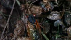 Cicada Crawls Across Cicada Exoskeletons