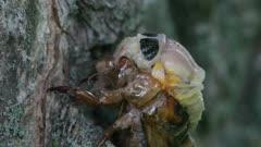 Cicada Slowly Emerging From Exoskeleton
