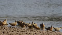 Burchell's Sandgrouse fly in to drink