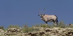 Gemsbok - on cliff, against sky, medium shot 3
