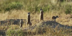 Meerkat family - keeping lookout from anthill