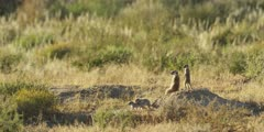Meerkat family - keeping lookout from anthill, wide