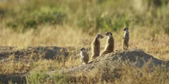 Meerkat family - keeping lookout from anthill, medium shot