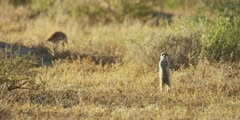 Meerkat family - baby on hind legs in the grass