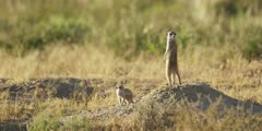 Meerkat family - adult keeping lookout, baby nearby