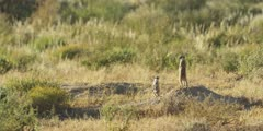 Meerkat family - adult keeping lookout, baby nearby, wide