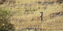 Meerkat family - baby standing in grass, looking around, then runs off
