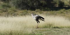 Secretary bird - hunting in the grass, walking, looking for prey