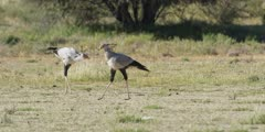Secretary bird - hunting in the grass, pair walking