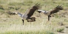 Secretary bird - courtship display, pair running wings open