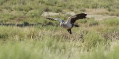 Secretary bird - hunting in the grass, wings open, chasing prey