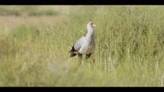 Secretary bird - hunting in the grass, walking