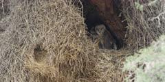 Barn Owl - family in nest, wide
