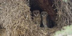 Barn Owl - family in nest, medium